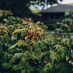 Five Frames | Raspberry Picking
